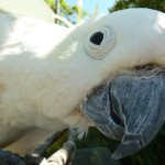 close up of a cockatoo